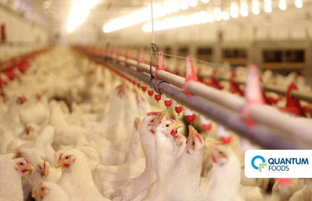 Quantum Foods shakes off bird flu