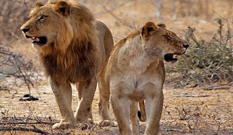 South African lions shot dead after Kruger Park escape